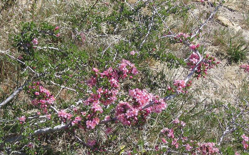 wild peach, Paiute language