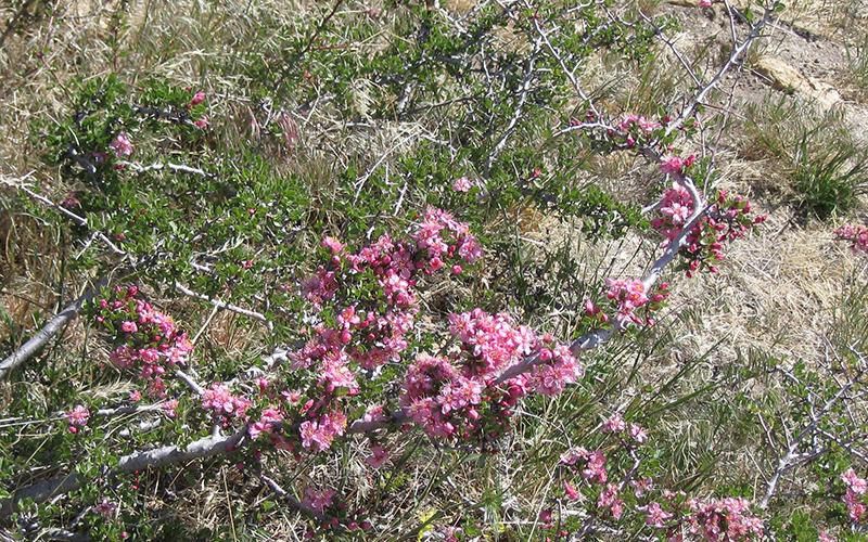 wild peach, Paiute language
