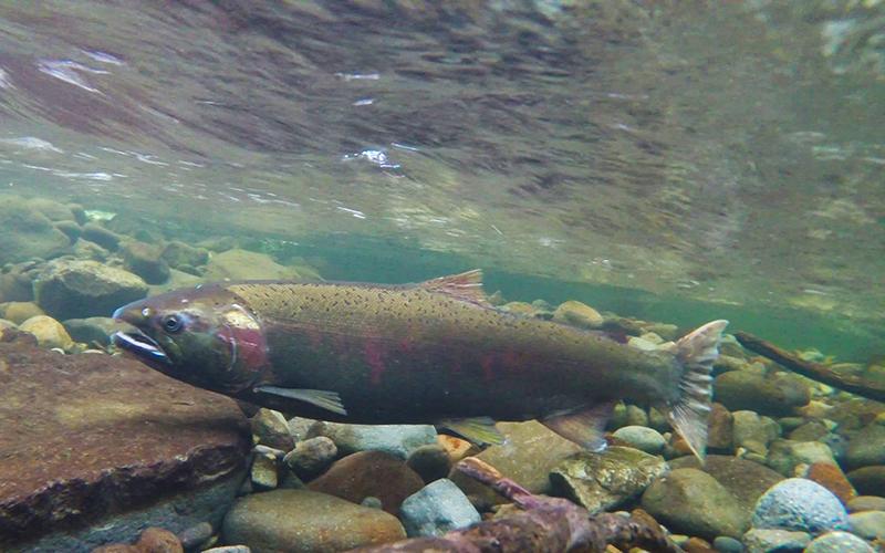 lahontan cutthroat trout, Paiute language