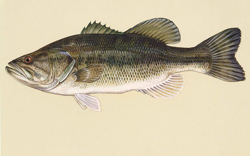 Large-mouth Bass, Paiute language