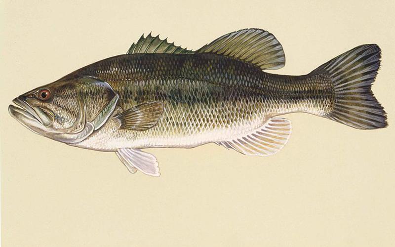Large-mouth Bass, Paiute language