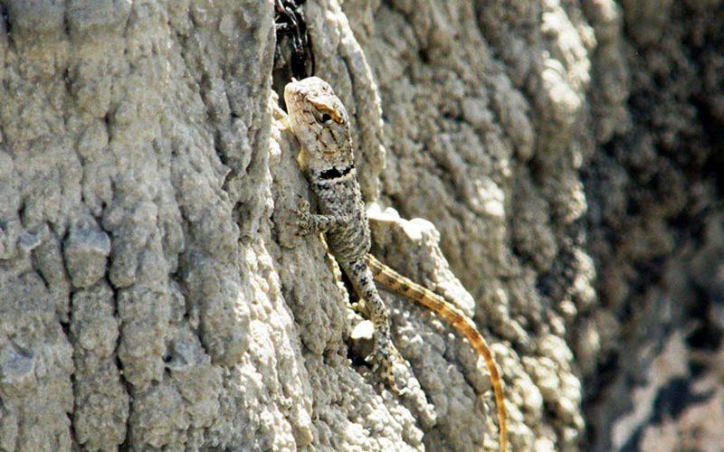 lizard, Paiute language
