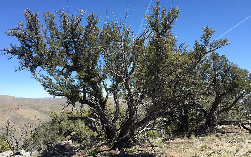 Mountain Mahogany, Paiute language