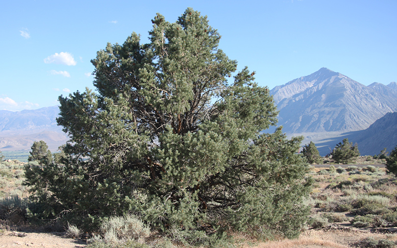 pinyon pine, Paiute language