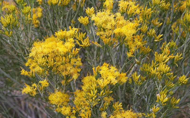 rabbit brush, Paiute language