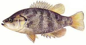 Cui-ui fish