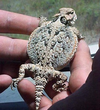 Toad Lizard