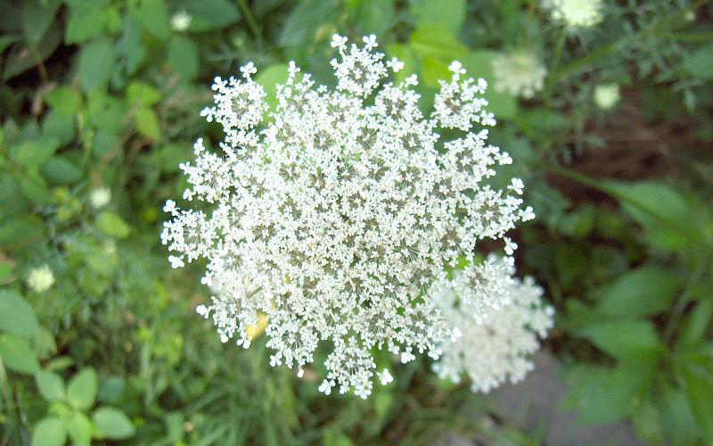 wild carrot flower, Paiute language