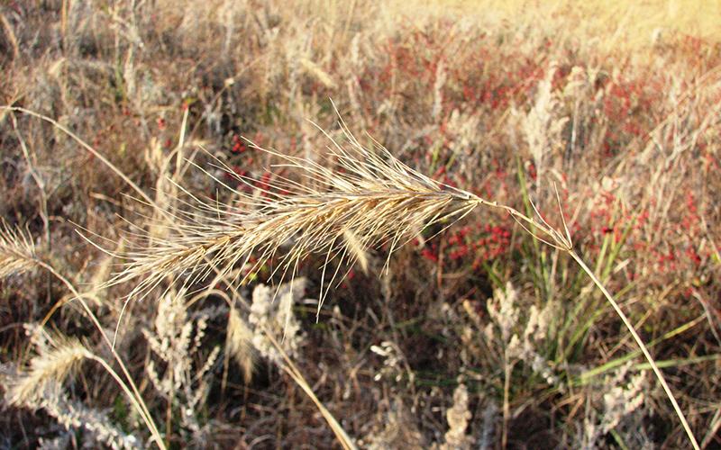 wild rye, Paiute language