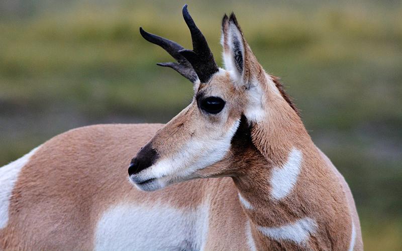 antelope, Paiute language