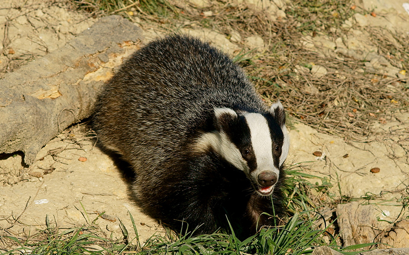 badger, Paiute language