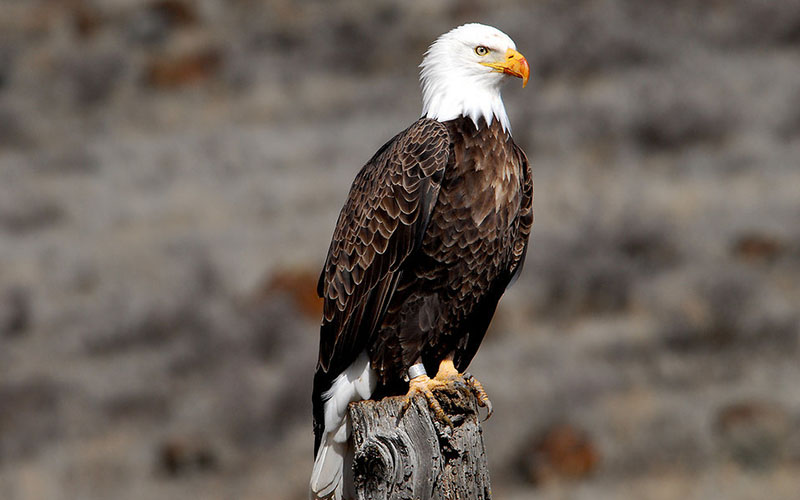 bald eagle, Paiute language