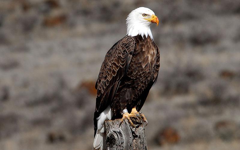 bald eagle, Paiute language