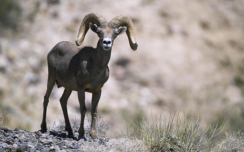 bighorn sheep, Paiute language