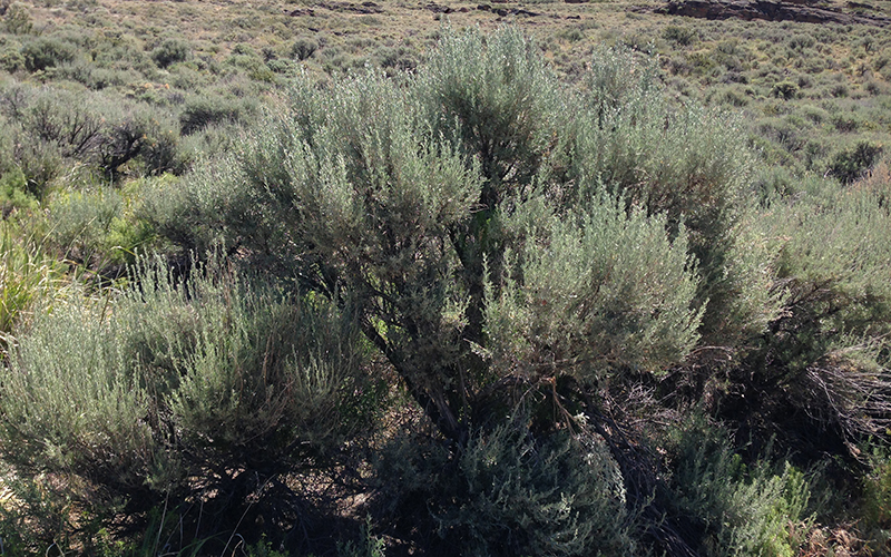 sagebrush, Paiute language