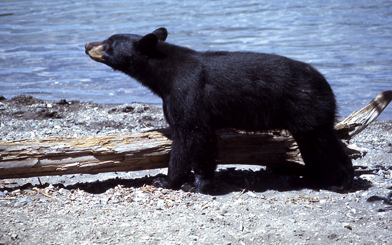 black bear, Paiute language