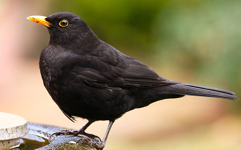 blackbird, Paiute language
