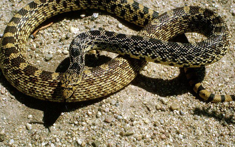 bull snake, Paiute language