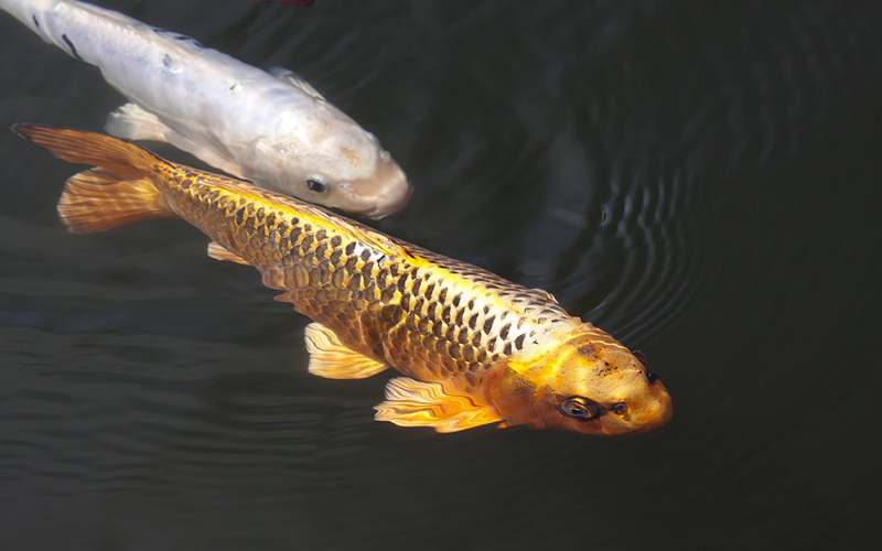 carp fish, Paiute language