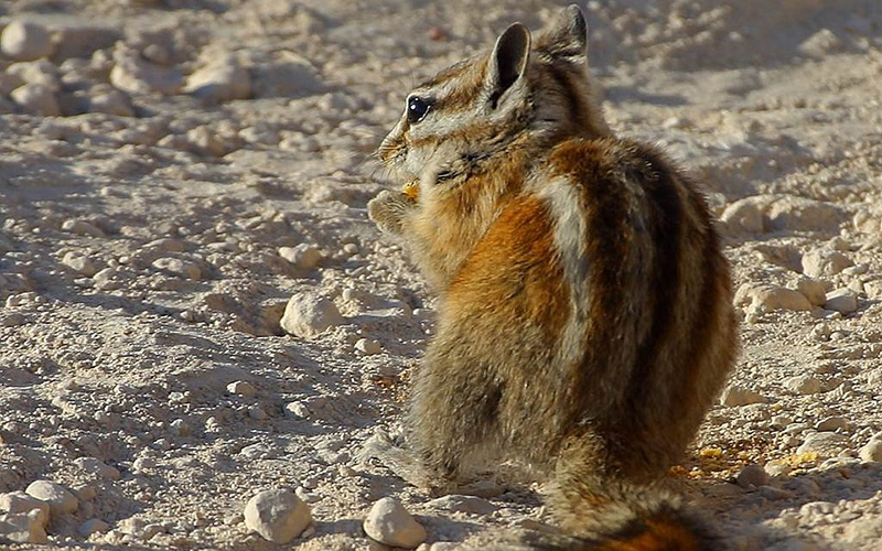 chipmunk, Paiute language