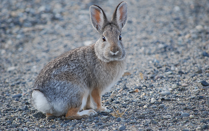 cottontail, Paiute language