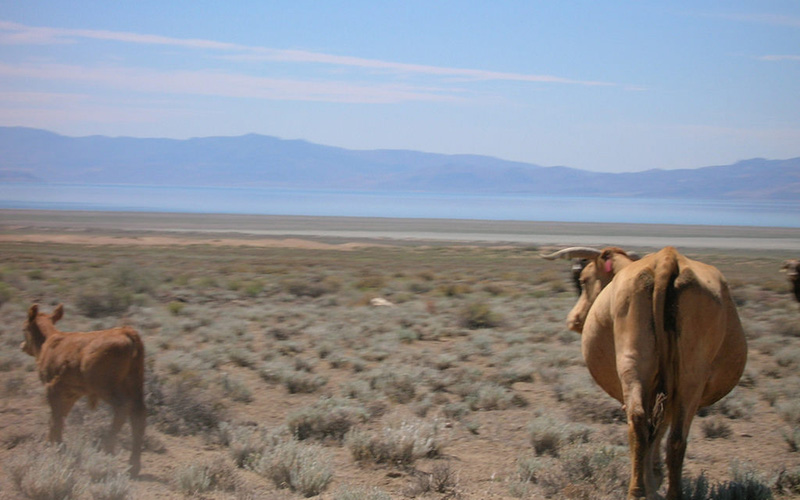 cow, Paiute language