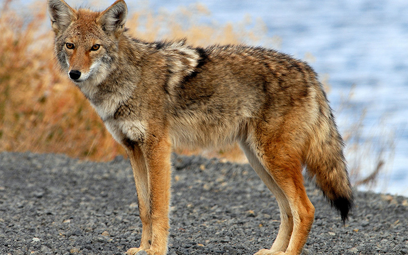 coyote, Paiute language