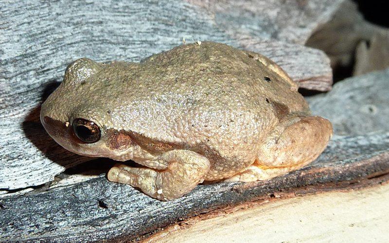 frog, Paiute language