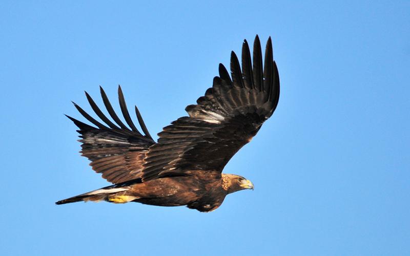 eagle, Paiute language