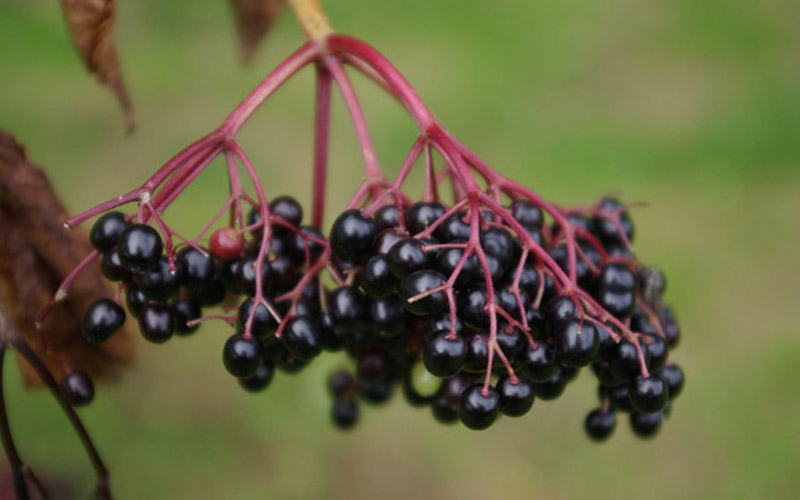 elderberry, Paiute language