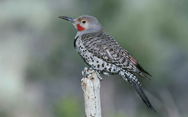 Flicker, Paiute language