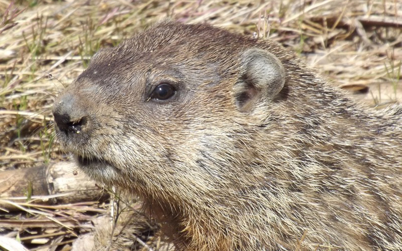 groundhog, Paiute language