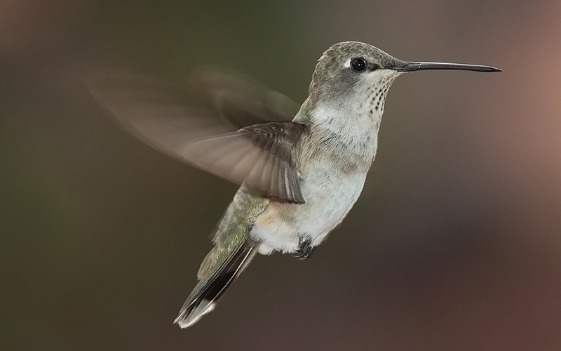 hummingbird, Paiute language