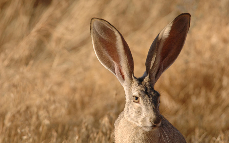 jackrabbit, Paiute language