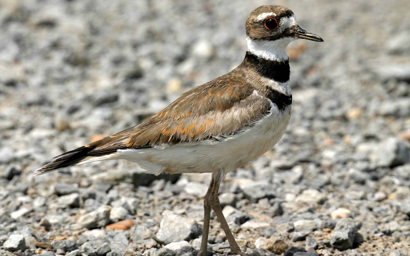 killdeer, Paiute language