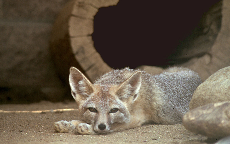 kit fox, Paiute language