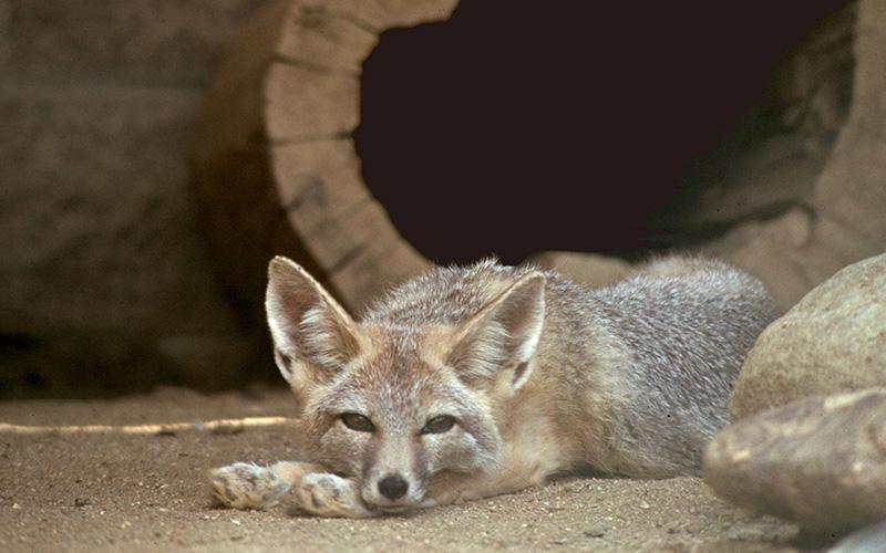 kit fox, Paiute language