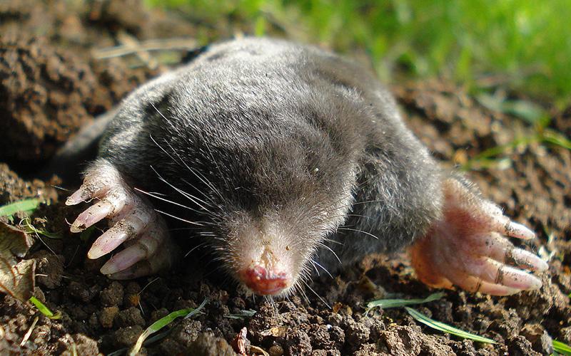 mole, Paiute language
