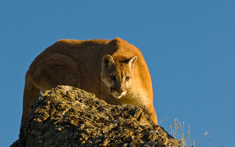 mountain lion, Paiute language
