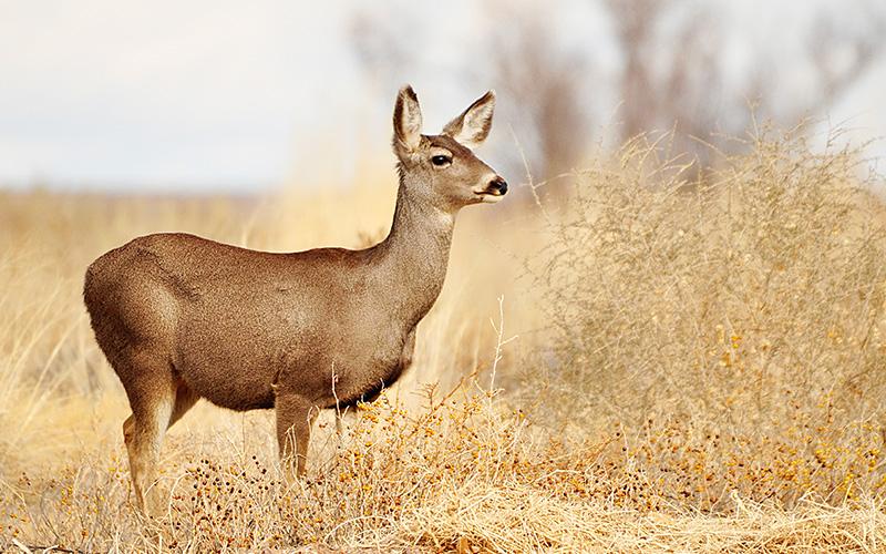 mule deer, Paiute language