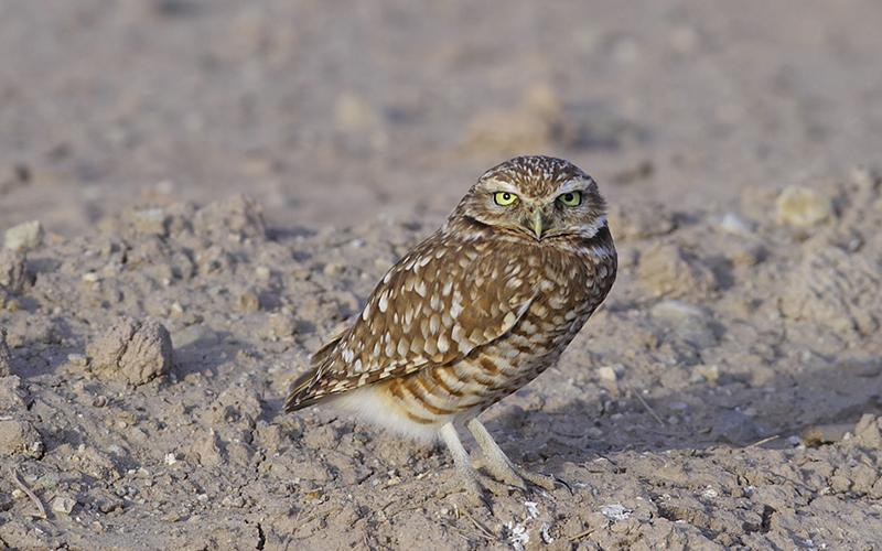 owl, Paiute language