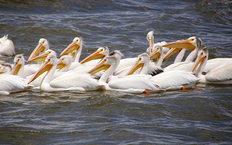 pelicans, Paiute language