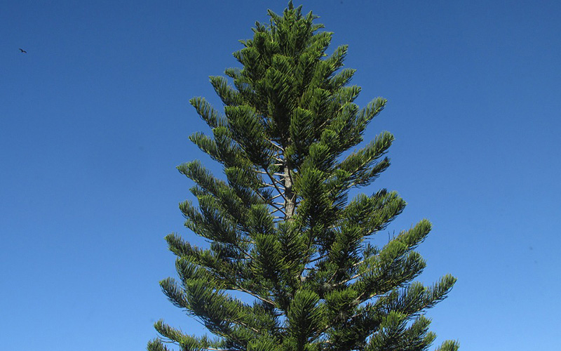pine tree, Paiute language