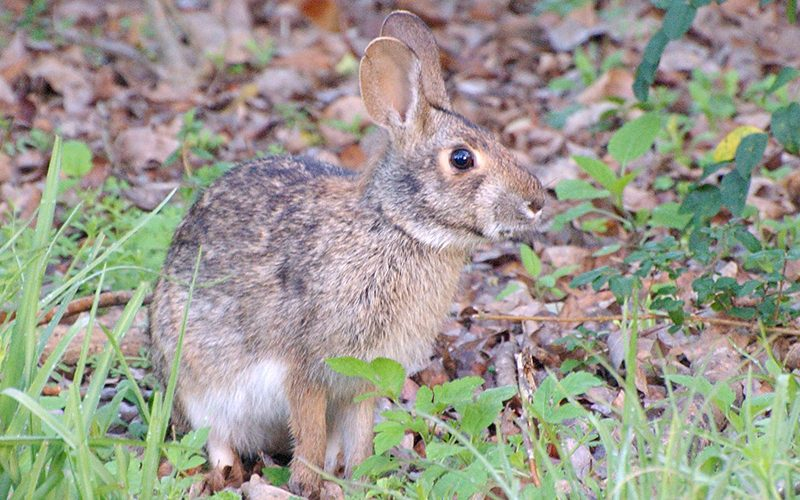 pygmy rabbit, Paiute language