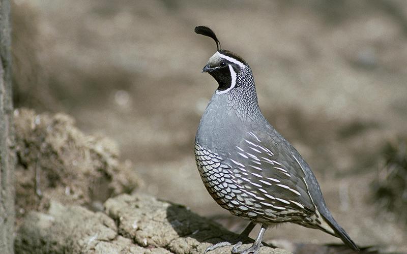 quail, Paiute language