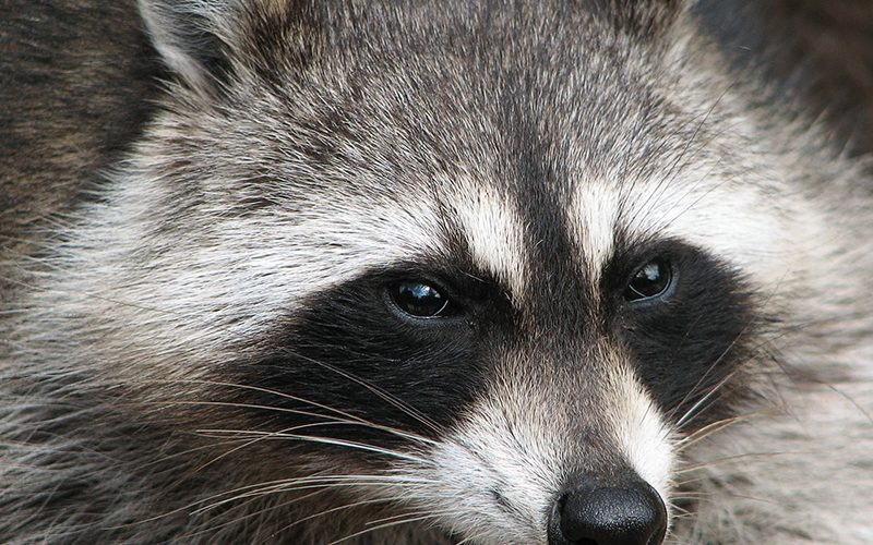 raccoon, Paiute language