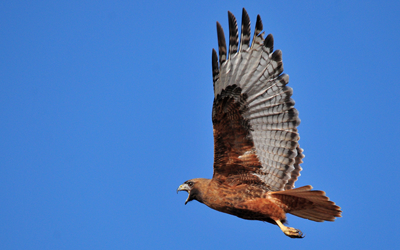 red tailed hawk, Paiute language