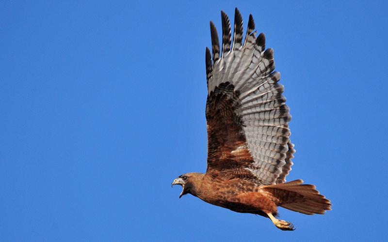 red tailed hawk, Paiute language