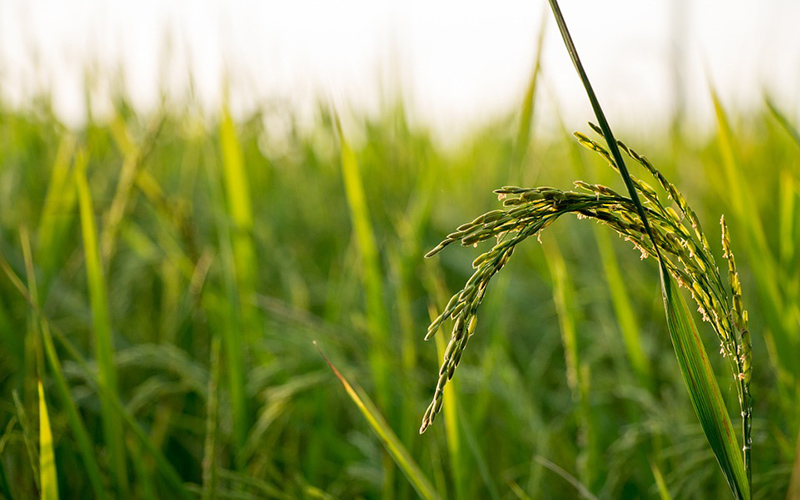 rice grass, Paiute language