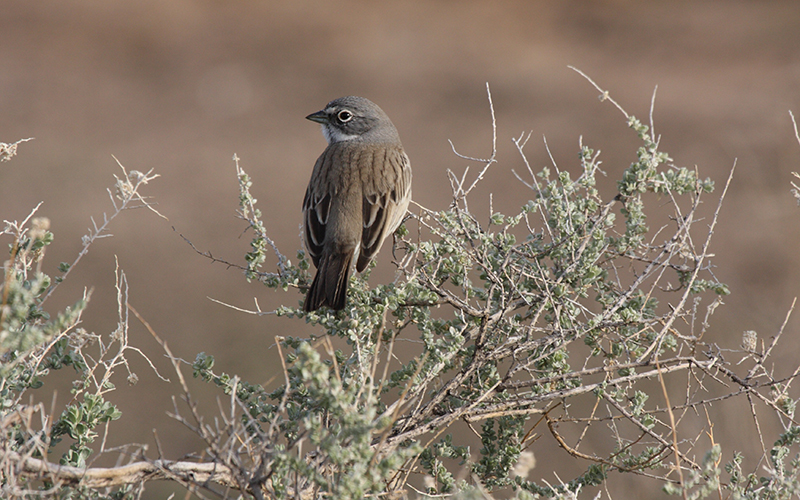 sage sparrow, Paiute language